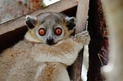 Zamyka up Lepilemur leucopus, sportive lemur, sadza na swój gniazdowym pudełku Obrazy Stock