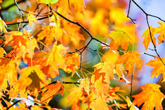 Zamyka up liście klonowi w jesień sezonie Obraz Stock