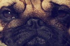 Zamyka up Śliczny mopsa szczeniak patrzeje smutny Zdjęcia Stock