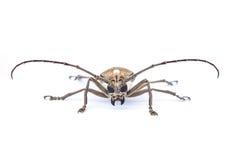 Zamyka up longhorn ściga (Cerambycidae) Fotografia Royalty Free