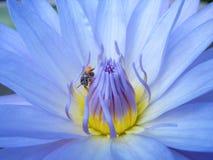 Zamyka up Lotus Zdjęcie Royalty Free
