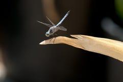 Zamyka up Męski Błękitny Dasher Cedzakowy Dragonfly na liściu Zdjęcia Royalty Free