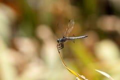 Zamyka up Męski Błękitny Dasher Cedzakowy Dragonfly na liściu Obrazy Royalty Free
