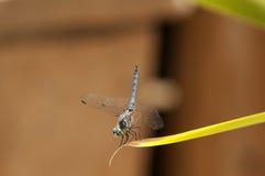 Zamyka up Męski Błękitny Dasher Cedzakowy Dragonfly na liściu Obraz Royalty Free