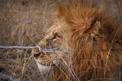 Zamyka up męski lew w Kruger parku narodowym, Południowa Afryka Zdjęcie Royalty Free