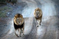 Zamyka up męski lew w Kruger parku narodowym, Południowa Afryka Zdjęcia Royalty Free