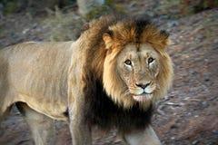 Zamyka up męski lew w Kruger parku narodowym, Południowa Afryka Obraz Royalty Free