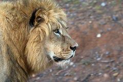 Zamyka up męski lew w Kruger parku narodowym, Południowa Afryka Fotografia Stock