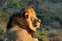 Zamyka up męski lew w Kruger parku narodowym, Południowa Afryka Obraz Stock