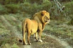 Zamyka up męski lew w Kruger parku narodowym, Południowa Afryka Fotografia Royalty Free