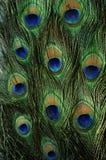 Zamyka up męski paw wystawia swój oszałamiająco ogonów piórka Obrazy Royalty Free