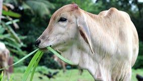 Zamyka up młoda krowy łasowania trawa zbiory