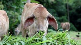 Zamyka up młoda krowy łasowania trawa zdjęcie wideo