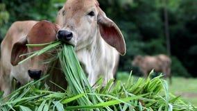 Zamyka up młoda krowy łasowania trawa zbiory wideo