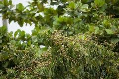 Zamyka up Młoda Mała longan owoc Fotografia Royalty Free