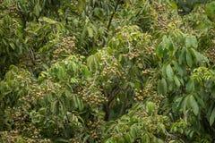 Zamyka up Młoda Mała longan owoc Zdjęcie Royalty Free