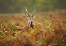 Zamyka up młody czerwonego rogacza jeleń w polu paproć zdjęcia stock