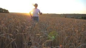 Zamyka up młody siberian husky ciągnie smycz podczas jogging na złotym pszenicznym polu przy zmierzchem Szczęśliwa dziewczyna wew zbiory
