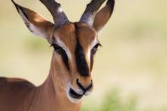 Zamyka up męski Impala Fotografia Stock