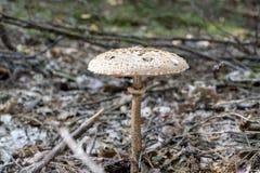 Zamyka up Macrolepiota procera w lesie w spadku Jesieni sceny kolorowy tło w świetle słonecznym jadalna grzybek Szczegół p Zdjęcia Stock