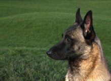 Zamyka up malinois pasterscy Fotografia Royalty Free