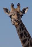 Zamyka up Masai żyrafa obrazy royalty free