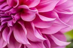 Zamyka up menchia kwiat: aster z różowymi płatkami i żółtym sercem dla tła lub tekstury Obraz Royalty Free