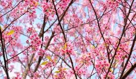 Zamyka up menchia kwiat: aster z różowymi płatkami i żółtym sercem dla tła lub tekstury Fotografia Royalty Free