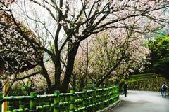 Zamyka up menchii i bielu gałąź okwitnięcie menchii Sakura drzewo Obrazy Royalty Free