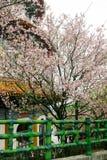 Zamyka up menchii i bielu gałąź okwitnięcie menchii Sakura drzewo Zdjęcie Stock