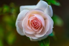 Zamyka up menchii róży kwiatu kwitnienie Wodna kropla na płatkach zdjęcia royalty free