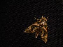 Zamyka up motylia czarownica na ścianie Zdjęcia Royalty Free