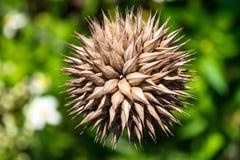 Zamyka up na dojrzałym Klipa Dagga Leonotis Nepetifolia fotografia royalty free