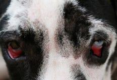 Zamyka up na niebieskich oczach pies fotografia royalty free