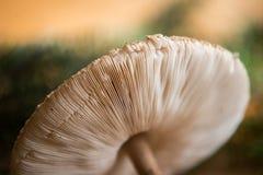 Zamyka up na parasol pieczarce (Macrolepiota procera lub Lepiota procera) Zdjęcie Stock