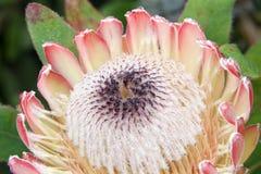 Zamyka up na Protea kwiacie Fotografia Stock