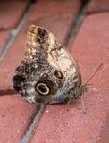 Zamyka up na sowie Motyli Caligo Memnon Zdjęcia Stock