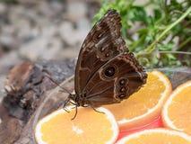 Zamyka up na sowie Motyli Caligo Memnon Obrazy Royalty Free