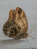 Zamyka up na sowie Motyli Caligo Memnon Obrazy Stock