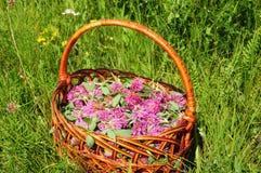 Zamyka up na Trifolium pratense czerwonej koniczyny kwiaty Zdjęcie Stock