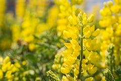 Zamyka up Nabrzeżny krzaka lupine Lupinus arboreus kwitnienie w Kalifornia zdjęcia royalty free