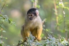Zamyka Up nakrywająca Wiewiórcza małpa W drzewie fotografia stock
