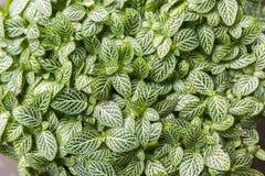Zamyka up nerw rośliny Fittonia albivenis zdjęcie stock