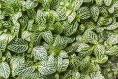 Zamyka up nerw rośliny Fittonia albivenis obraz royalty free