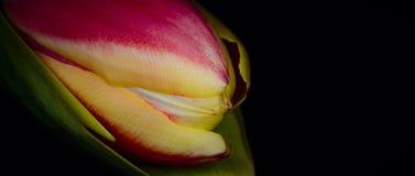 Zamyka w górę tulipanu Zdjęcia Stock