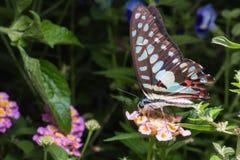 Zamyka up Ogoniasty Jay & x28; Graphium agamemnon& x29; motyl na Brillia Fotografia Stock