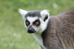 Zamyka up Ogoniasty lemur Fotografia Royalty Free
