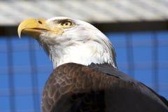 Amerykański orzeł Zdjęcie Royalty Free