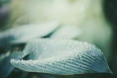 Zamyka up ornamentacyjny Hosta rośliny liść Obrazy Stock