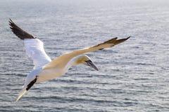Zamyka up Północny Gannet w locie - Morus bassanus zdjęcie royalty free